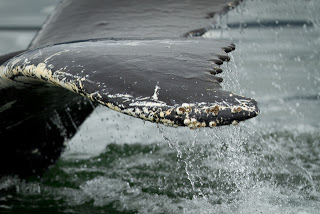 Humpback tail and barnacles