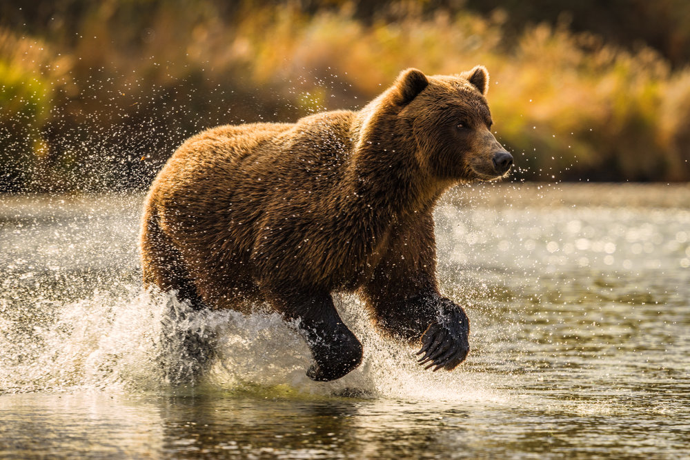 20160915_Katmai_Bears_F7I0946-912_warm.JPG