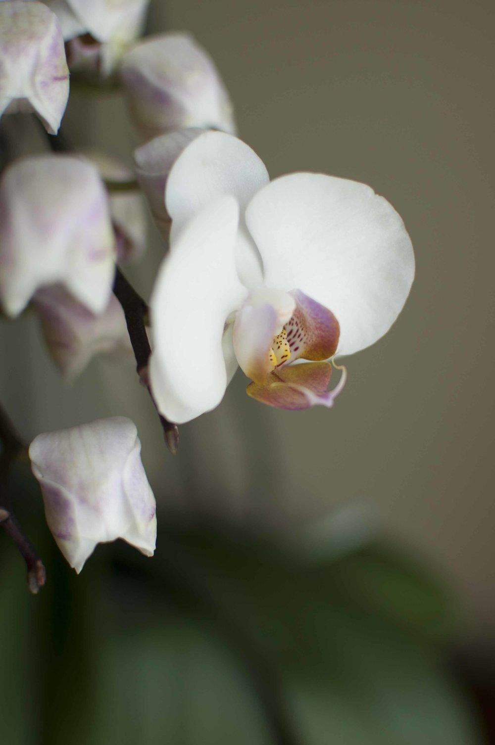 orchid6_17_4.jpg