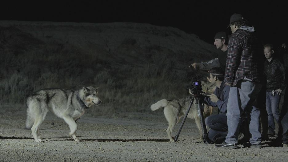 Wolfdogs.