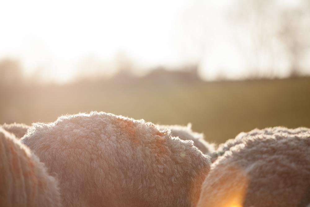 lamb-2.jpg
