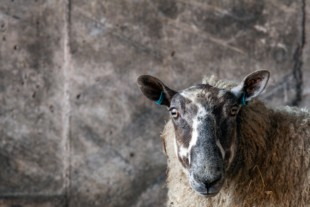 lamb-10.jpg