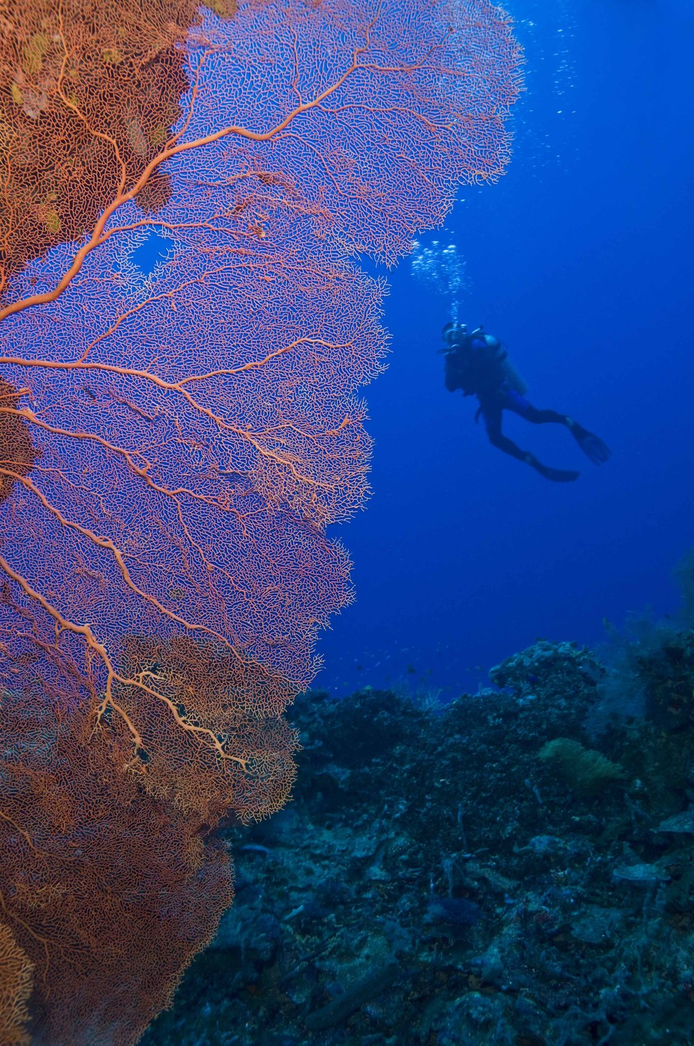 Scuba diver poses behind giant sea fan. Tubbataha's dramatic atolls are coated by all manner of marine life, including multihued hard and soft corals, sponges and sea fans. Though many are relatively fast-growing, some coral species take centuries to grow.  (Photo by Toppx2)