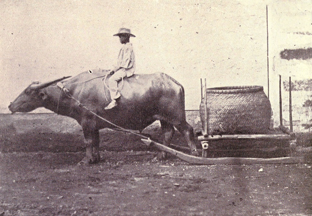 The Philippine Carabao (Source: Wikimedia Commons)