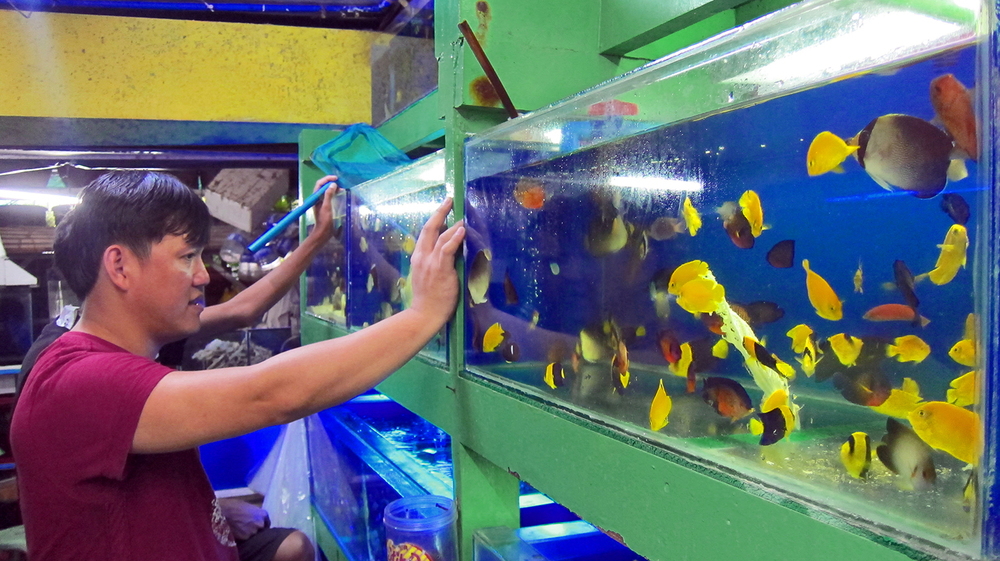 A shop attendant dutifully inspects a holding tank of brightly-hued butterfly, angel and surgeonfish. Despite the hopeful efforts of many hobbyists, most will die within a year. (Photo by Gregg Yan)