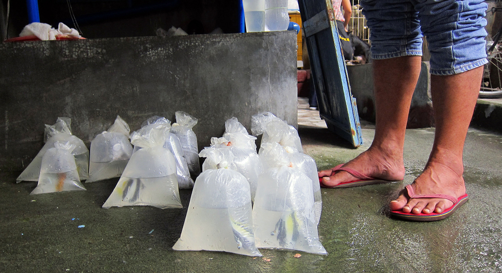 "At an export facility in Paranaque, fish are readied for their journey to Japan, a top marine fish importer. ""Last night we shipped out thousands of fish in 24 boxes,"" reveals a slipper-clad operator. Today, the Philippines and Indonesia supply 85% of the world's wild-caught marine fish. (Photo by Gregg Yan)"