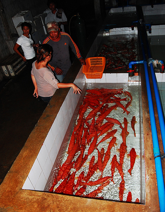 Hundreds of market-grade leopard coral trout are prepared for export to Manila and other Asian hubs. In Hong Kong, Singapore and mainland China, a single red grouper can be sold for as much as $150 or PHP6000. (Photo by Gregg Yan)