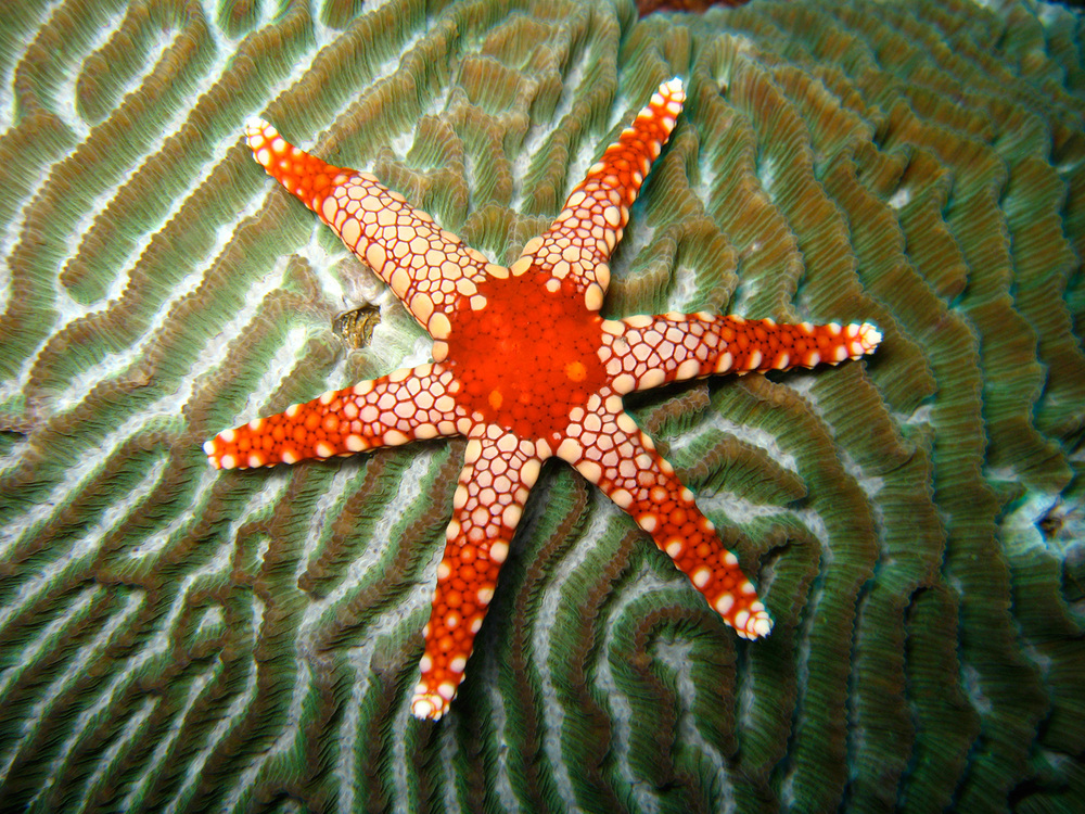 An unusual 6-armed starfish, Fromia monilis, on a brain coral in Verde Island Passage (Photo by Bart Shepherd, California Academy of Sciences)