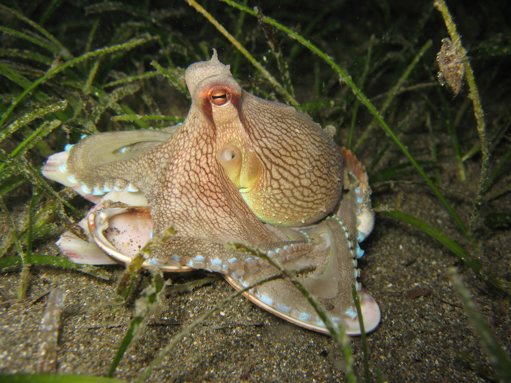 Night creature: A coconut octopus, Amphioctopus marginatus, hiding in small clam shells, Anilao Pier, Batangas (Photo by Bart Shepherd, California Academy of Sciences)