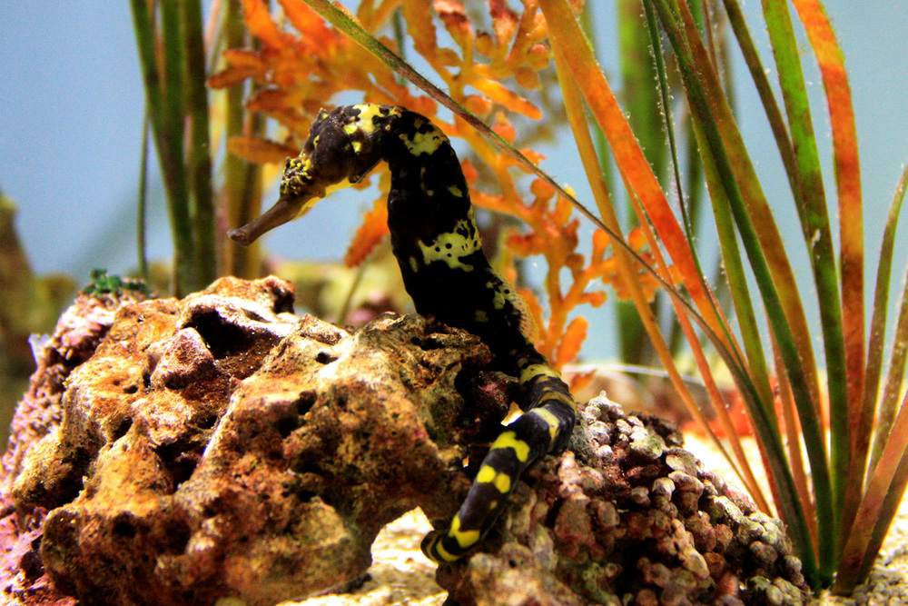 A tigertail seahorse from the Philippines, now a permanent resident at the Steinhart Aquarium. (Photo by Astrid M. Barrros)