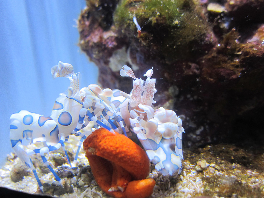Purple blotches on a white background help the harlequin shrimp blend into the reef. (Photo taken at the Steinhart Aquarium by Astrid Barros)