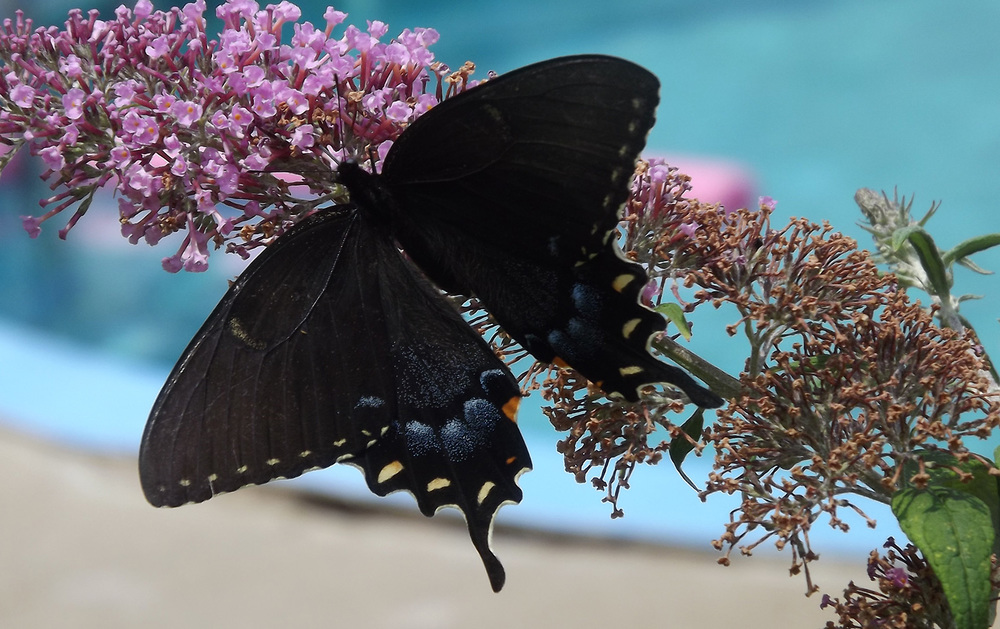 A black butterfly is a sign of a death of a family member. (Photo from Wikimedia Commons)