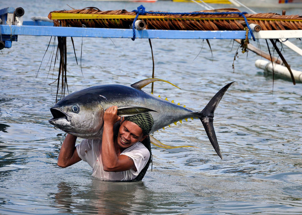 Only large, mature Yellowfin tuna are shipped to European Markets, allowing tuna species the opportunity to spawn and proliferate. (Photo by Gregg Yan/WWF)