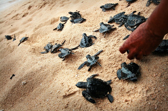 Turtles of Pandan Island (Source: PIPHO)