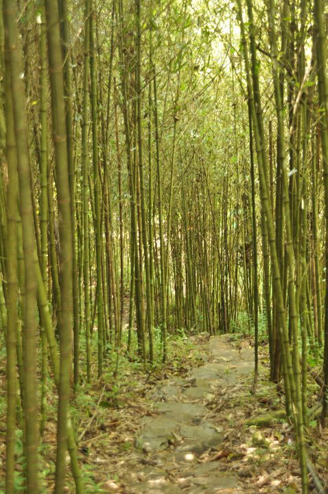Bamboo is being propagated in Tublay, Benguet (Photo courtesy of the Philippine Bamboo Foundation, Inc.)