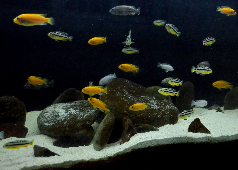 "Captive-bred cichlids, originally from the great African Rift Lakes, populate a tank in Pasig City. Yellow Pseudotropheus retail for PHP 85, striped Auratus at PHP 100. Shares hobbyist Joey Rosal, ""Two of my Auratus produced 25 fry three months ago. If I sell them at PHP 100 apiece, I'll earn PHP 2,500 – equivalent to 31 kilos of tilapia!"" (Photo by Gregg Yan/Best Alternatives)"