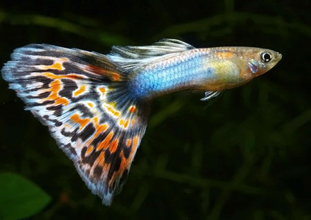 Fancy guppies (Poecilla reticulata) are called 'millions fish' because they are efficient breeders, releasing up to 100 fry every few months. Guppies range in price from PHP 20 to PHP 500, depending on size, color and finnage. (Source: freshwater fish wiki)