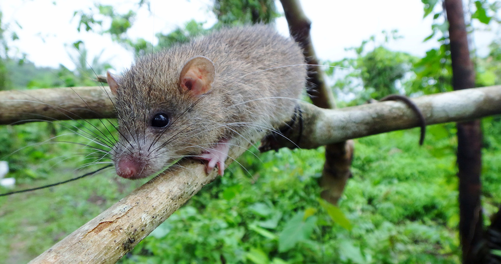 The Mindoro spiny tree mouse is a poorly known animal that lives only in the forests of Mindoro.  (Photo by D. S. Balete)