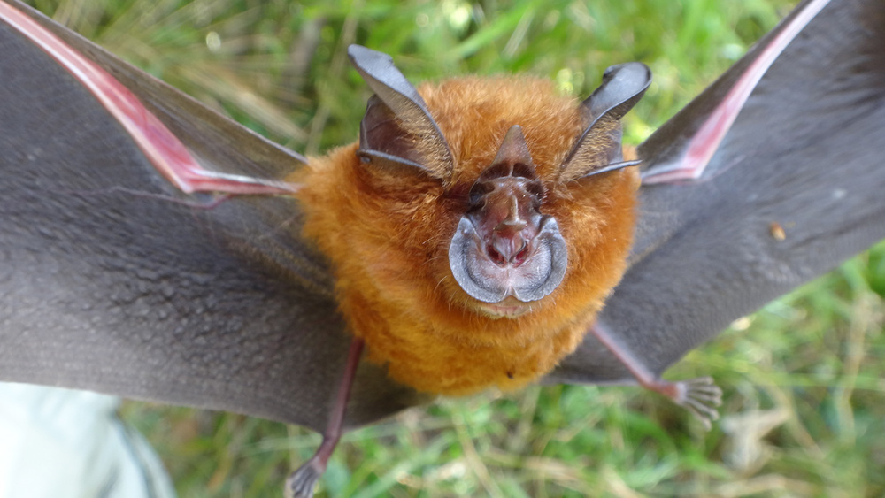 Leaf-nosed bats are among the most diverse of the bats that eat insects.  They find bugs at night using high-pitched squeaks that they emit through their nostrils, then listen for the echos using their large ears.  (Photo by D. S. Balete)