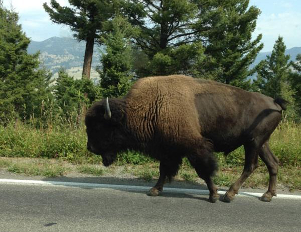 The bison of Yellowstone (Photo by Gemma Nemenzo)