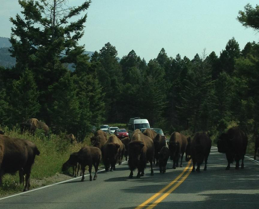 Waiting for the bison to cross (Photo by Gemma Nemenzo)