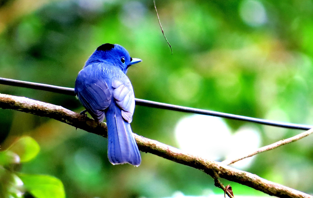 Black-naped Monarch (Photo by JAC Señagan)