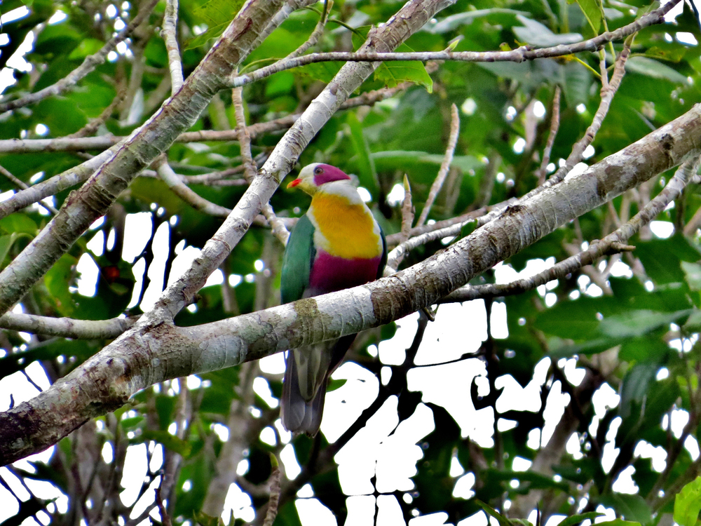 Yellow-breasted Fruit Dove (Photo by   JAC Señagan)