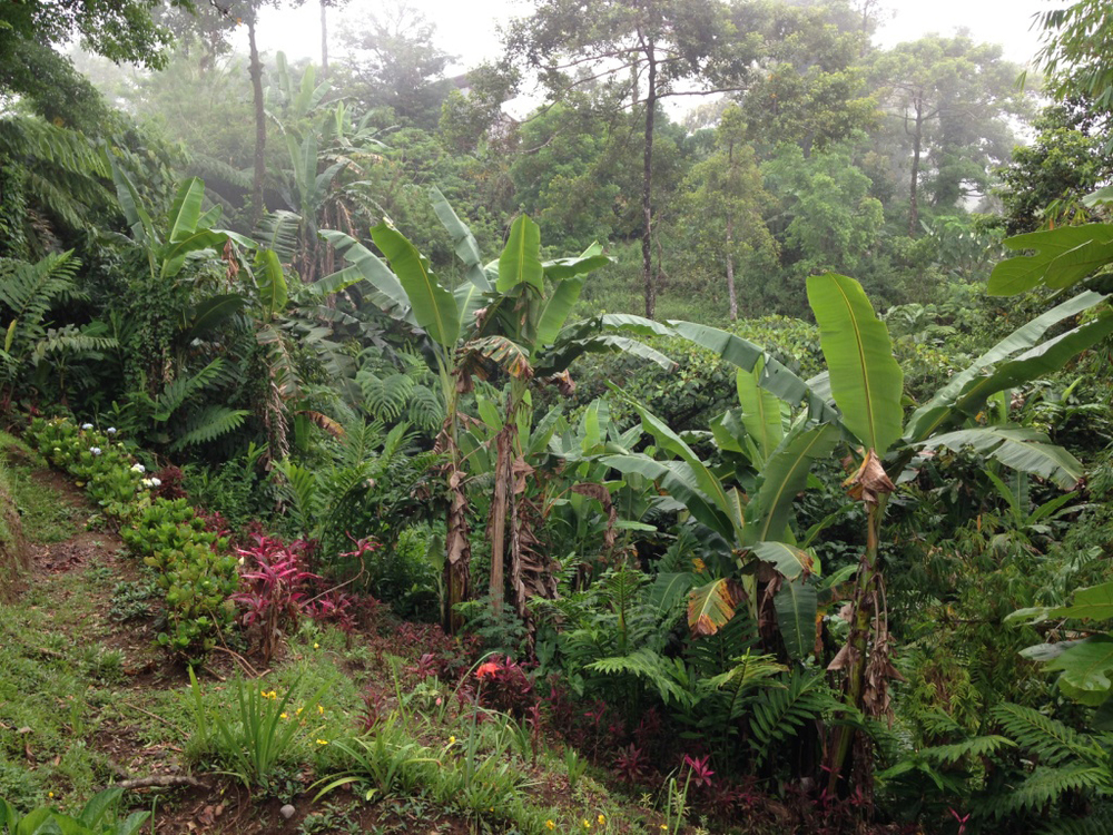 Banana trees outside the cottage (Photo by Dinky Von Einsiedel)