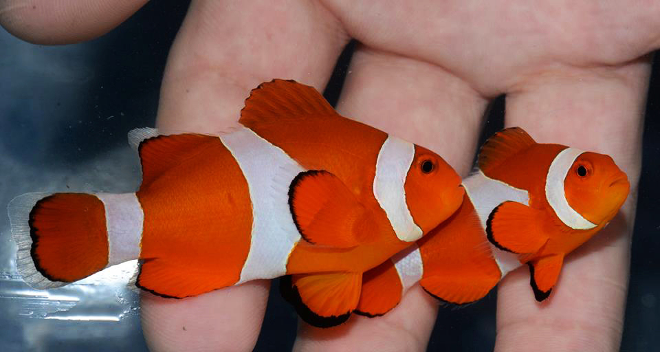 Common Clownfish (Amphiprion ocellaris) are relatively hardy aquarium fish which can be bred in captivity. However, 75% of the global supply is still wild-caught. The Best Alternatives Campaign encourages clownfish breeding to ease the strain on wild stocks. (Source: RVS Fishworld)
