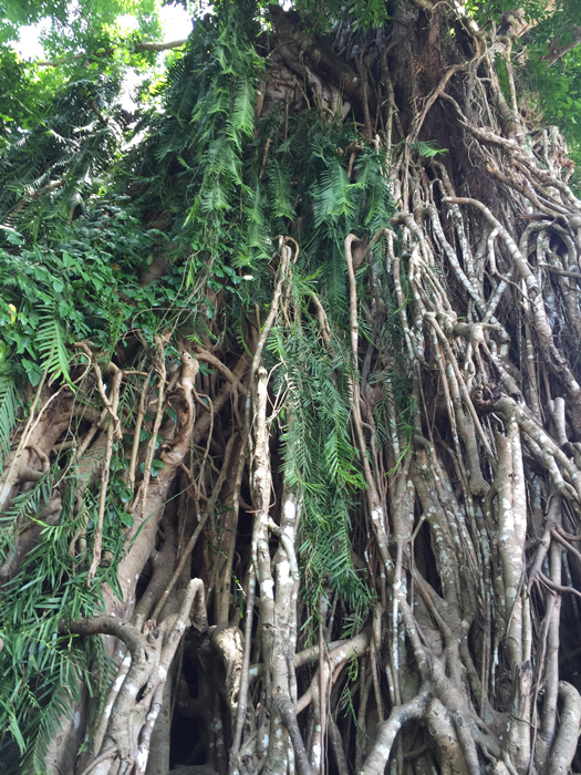 Giant balete (banyan) tree in the neighboring town of Maria Aurora. (Photo by Omar Paz)