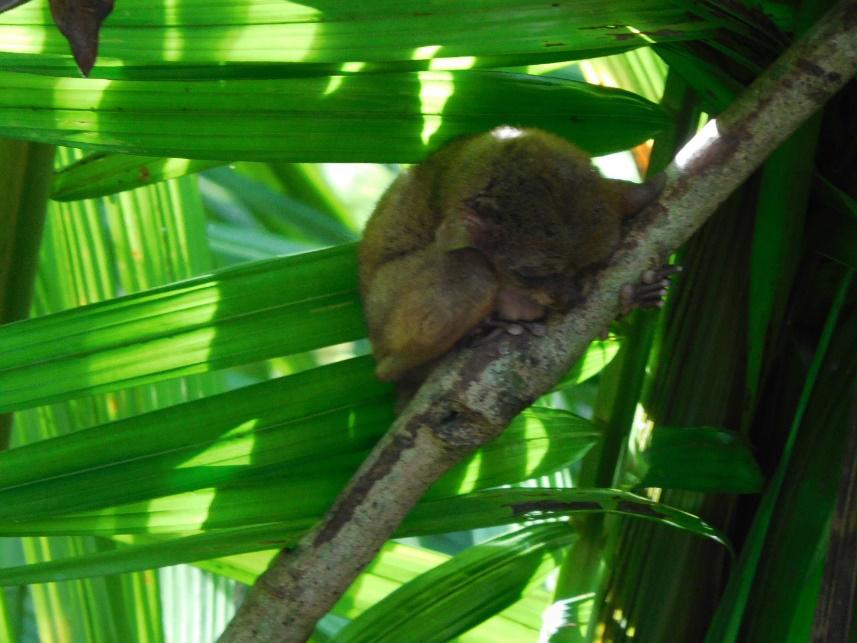 Do not disturb a sleeping tarsier. (Photo by Gia Mendoza)