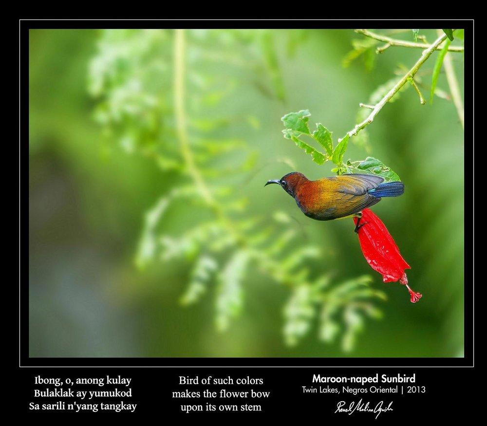 AGUILA-Maroon-naped-Sunbird.jpg