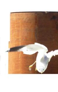 Seagull in Flight taken in Steveston, B.C. Canada (Photo courtesy of BenCab)