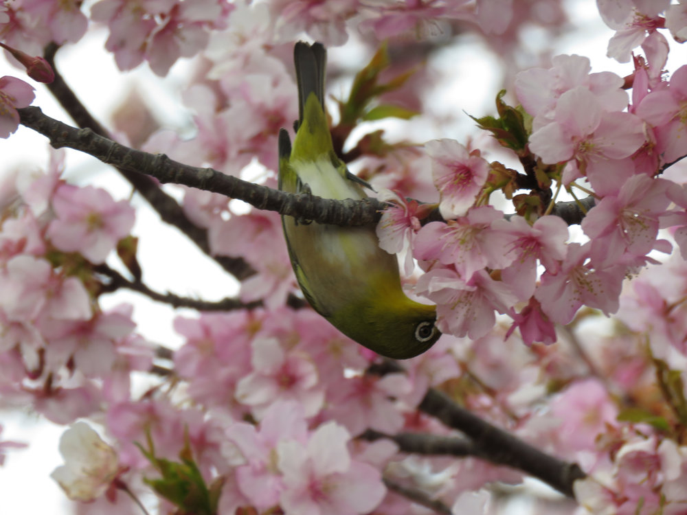 The Japanese white-eyed bird sipping the nectar of the early blossoms of the kawazu-zakura on the island of Enoshima