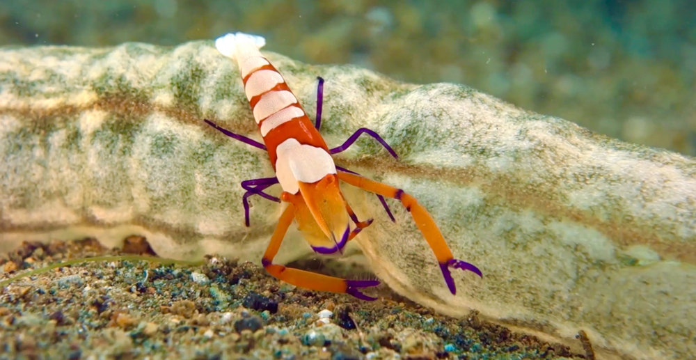 Imperial Shrimp (Photo by Robert Suntay)