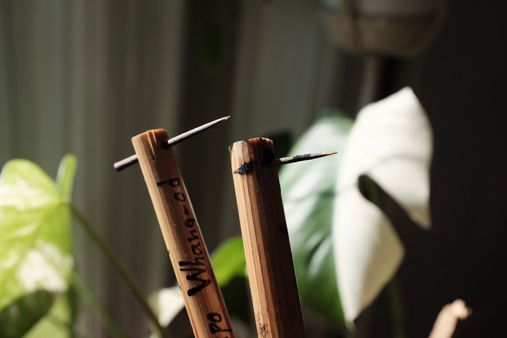 The tattoo needle used by mambabatoks. It is made from a pomelo thorn and bamboo stick. Up until recently, Whang Od had insisted on reusing these on dozens of guests. Now, thankfully, you can purchase your own for P100 (Photo by Jensen Esteves).