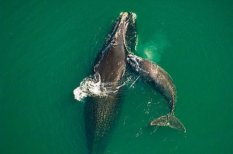 A mature North Atlantic right whale and calf
