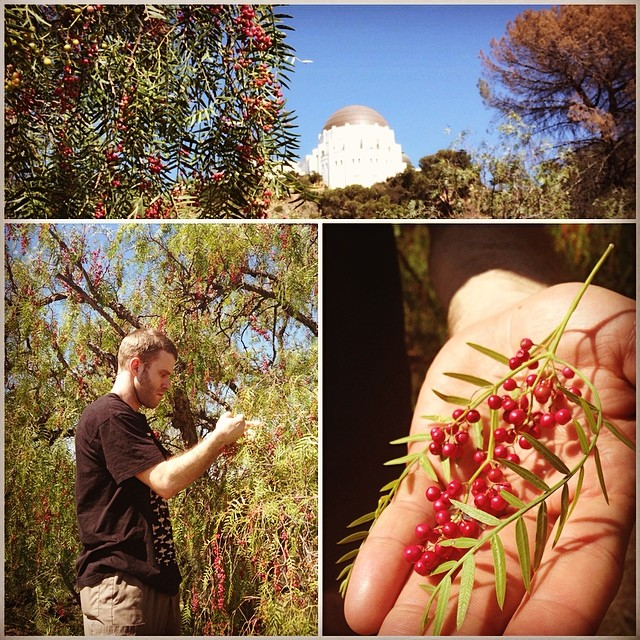 Chef Jay @cookedsnake Foraging for Pink Peppercorns in Griffith Park