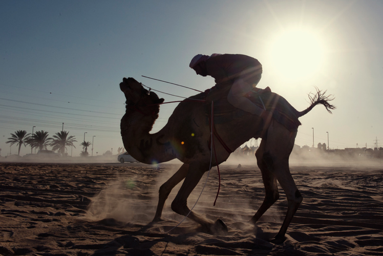 A man holds tight as he mounts his camel in the Western Region of Abu Dhabi, UAE.