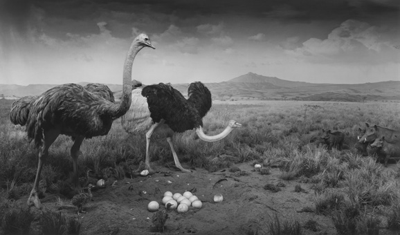 "Ostrich-Wart Hog, Hiroshi Sugimoto. 1980. gelatin silver print. 47"" x 83"" (119.4 cm x 210.8 cm). Courtesy The Pace Gallery"