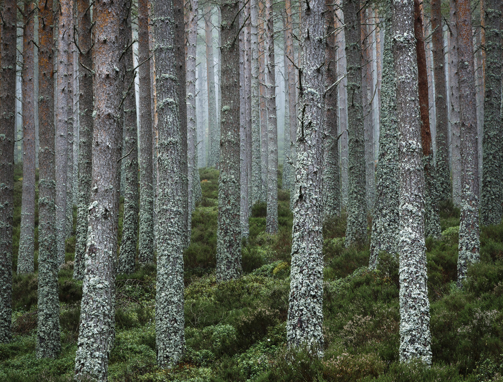 David Shawe - United they stand, Glenmore Forest, Cairngorms National Park, Scotland