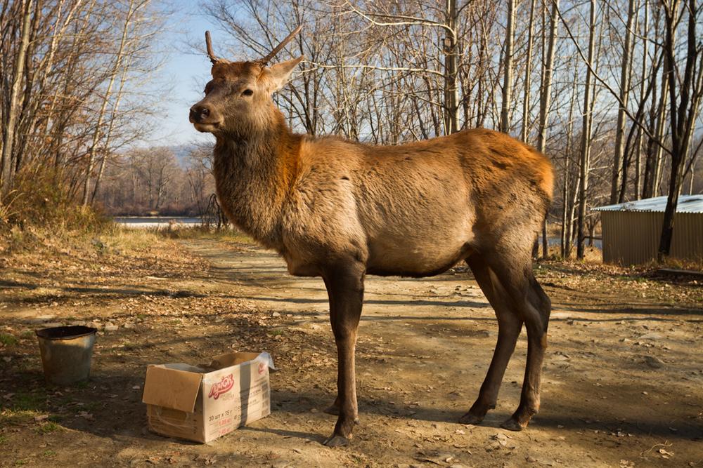 Russian Red Deer