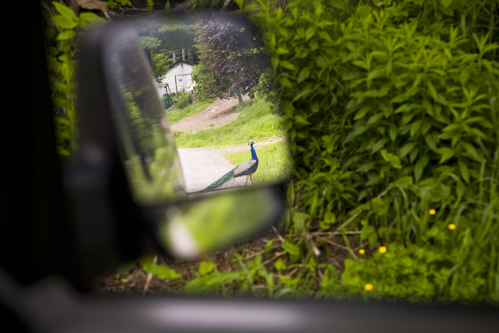PEACOCK IN MY MIRROR_web.jpg