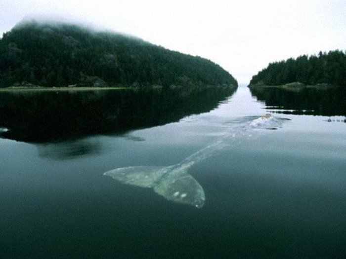 "allthelatestmoves :            Did you guys hear about the loneliest whale?      ""i ( sabino ) just read a comment from a 2004 article by the ny times about the loneliest whale in the world. scientists have been tracking her since 1992 and they discovered the problem:     she isn't like any other baleen whale. unlike all whales, she doesn't have friends. she doesn't have a family. she doesn't belong to any tribe, pack or gang. she doesn't have a lover. she never had one. her songs come in groups of two to six calls, lasting for five to six seconds each. but her voice is unlike any other baleen whale. it is unique—while the rest of her kind communicate between 12 and 25hz, she sings at 51.75hz. you see, that's precisely the problem. no other whales can hear her. every one of her desperate calls to communicate remains unanswered. each cry ignored. and with every lonely song, she becomes sadder and more frustrated, her notes going deeper in despair as the years go by.""     ( via )"