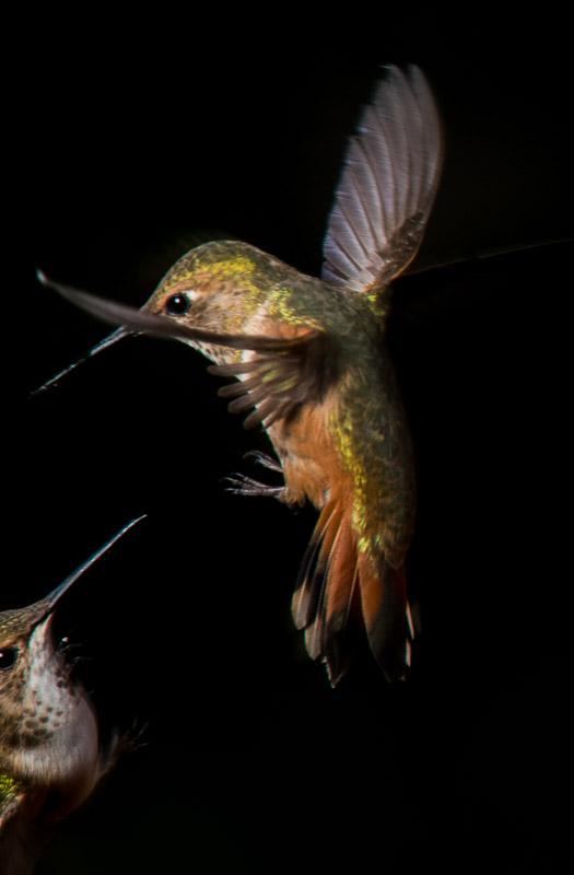 competing hummingbirds
