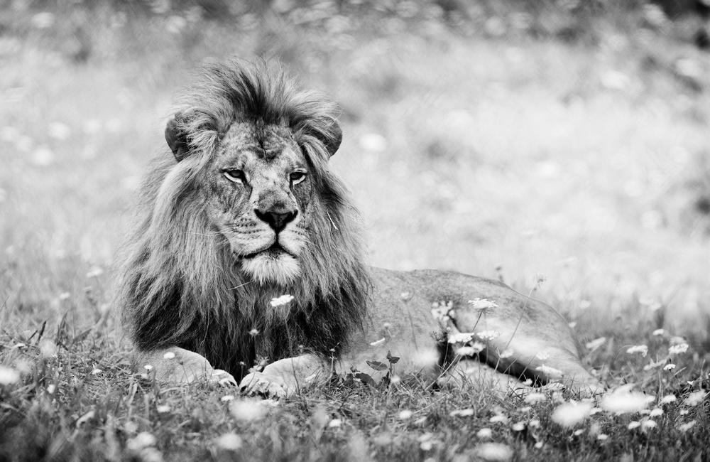 Lion, King