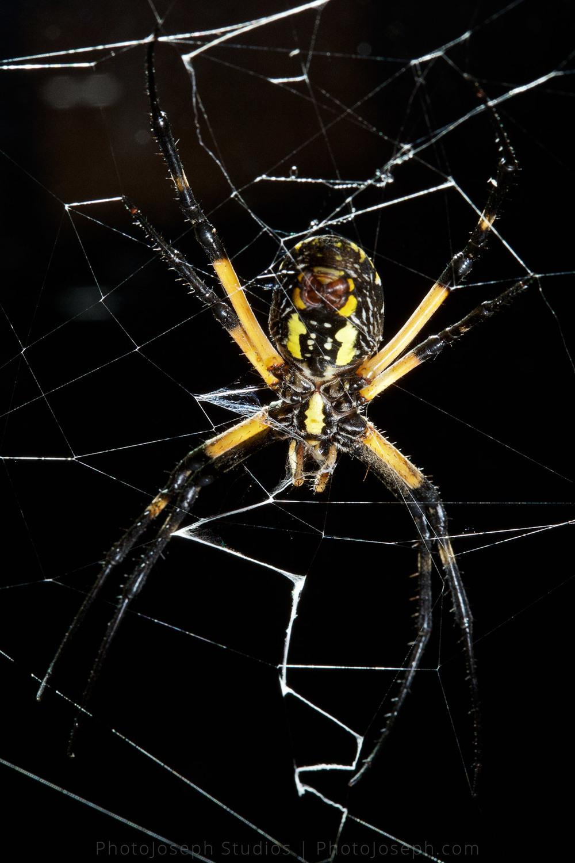 Argiope aurantia Spider http://en.wikipedia.org/wiki/Argiope_aurantia near Lake Hartwell, Anderson, South Carolina
