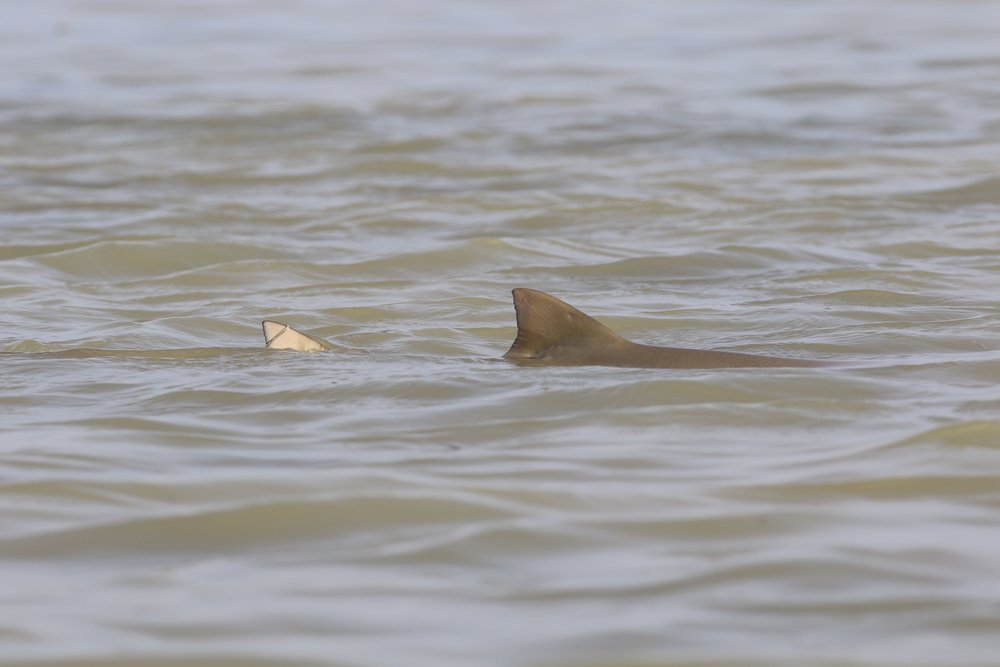 A lemon shark cruises by our kayak at Garl's Coastal Kayaking Everglades tour