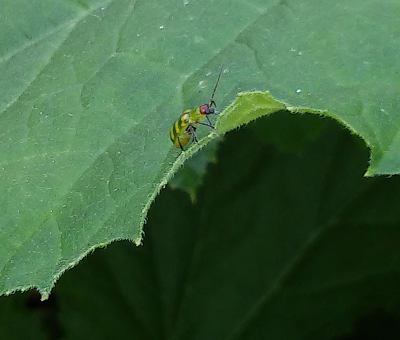 Cucumber beetle in the squash. Sigh.