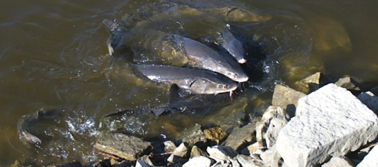 Lake sturgeon spawning in a rocky river in Wisconsin. (2010)